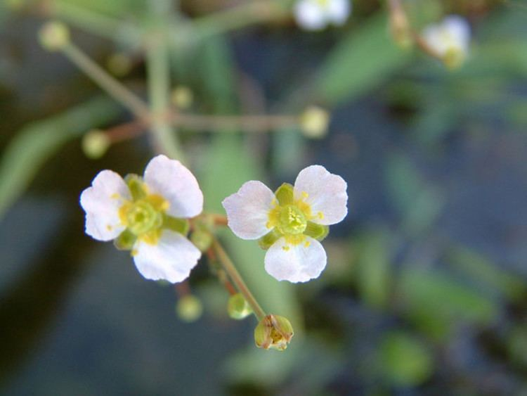 Alisma gramineum Alisma gramineum narrowleaved waterplantain Go Botany