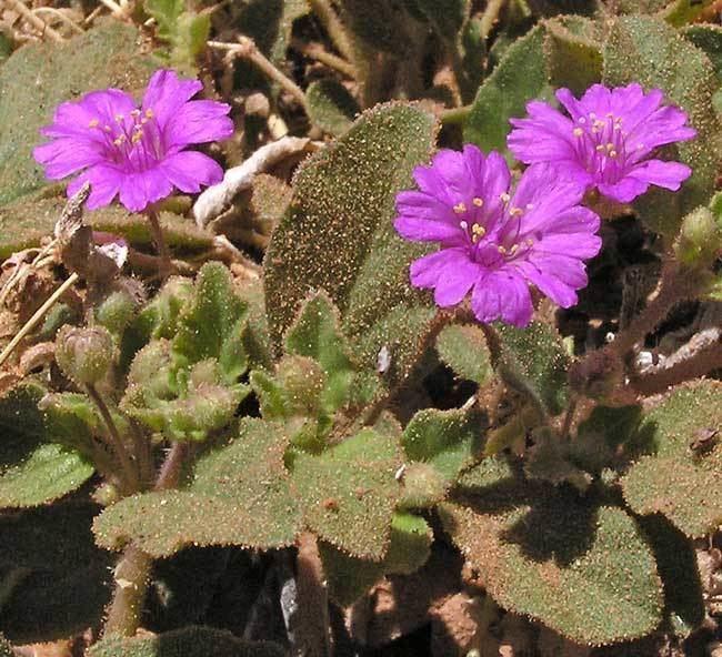 Allionia Southwest Colorado Wildflowers Allionia incarnata