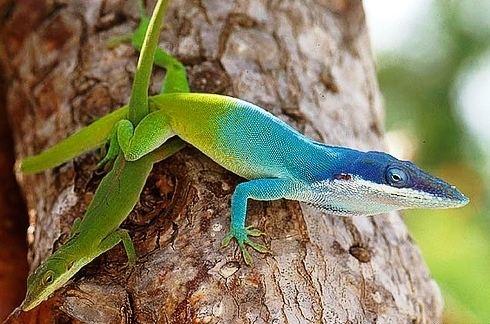 Allison's anole Native to Cuba Honduras and Belize the Allison39s anole resembles