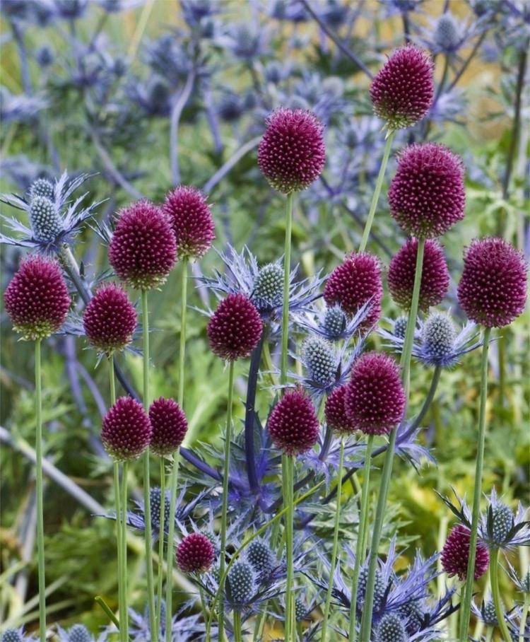 Allium sphaerocephalon Allium sphaerocephalon Allium Flower Bulb Index