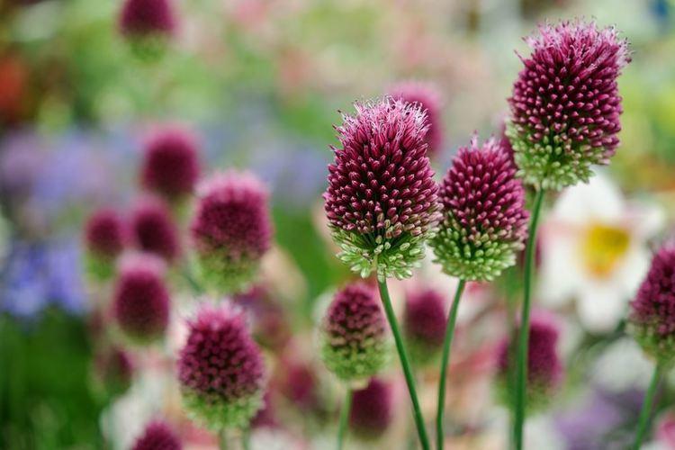 Allium sphaerocephalon Allium sphaerocephalon gardenersworldcom