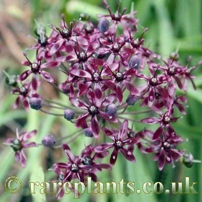 Allium wallichii Allium wallichii Black RarePlants