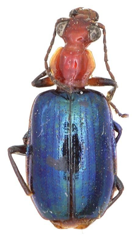 Allocota cyanipennis