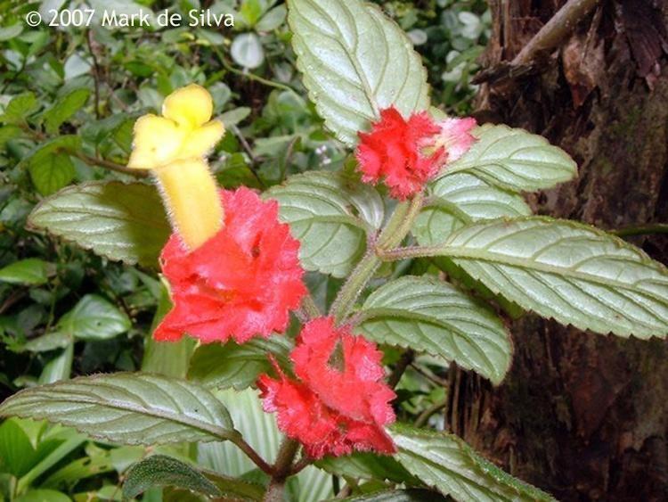 Alloplectus Plants of the Eastern Caribbean Image of Alloplectus cristatus