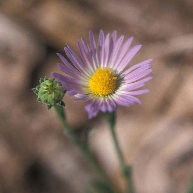 Almutaster SEINet Arizona Chapter Almutaster pauciflorus