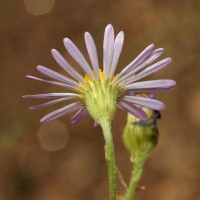 Almutaster wwwfireflyforestcomimageswildflowersplantsAl