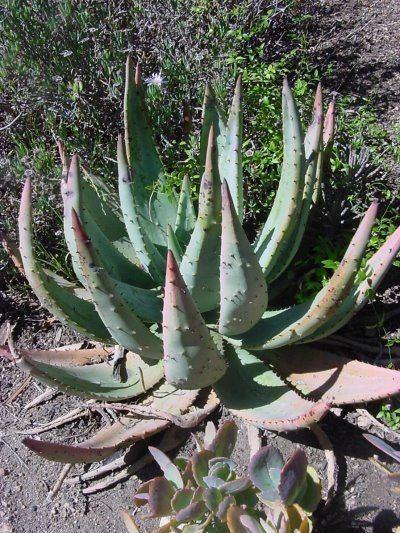 Aloe aculeata Aloe aculeata