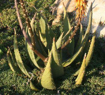 Aloe aculeata Aloe aculeata Plantz Africa
