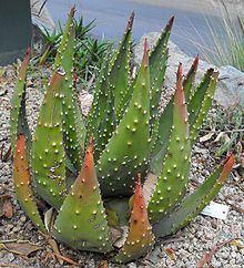 Aloe aculeata httpsuploadwikimediaorgwikipediacommonsthu