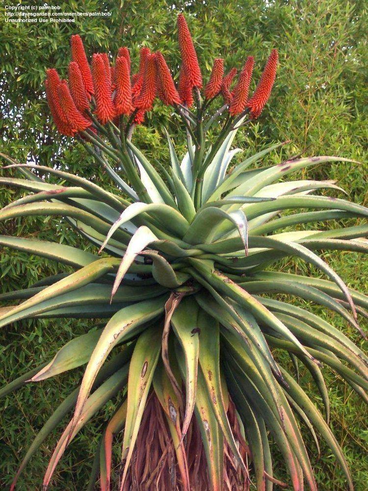 Aloe excelsa PlantFiles Pictures Aloe Noble Aloe Zimbabwe Aloe Aloe excelsa