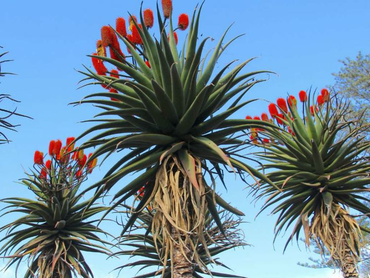Aloe excelsa Aloe excelsa Zimbabwe Aloe World of Succulents