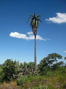 Aloe excelsa httpsuploadwikimediaorgwikipediacommonsthu