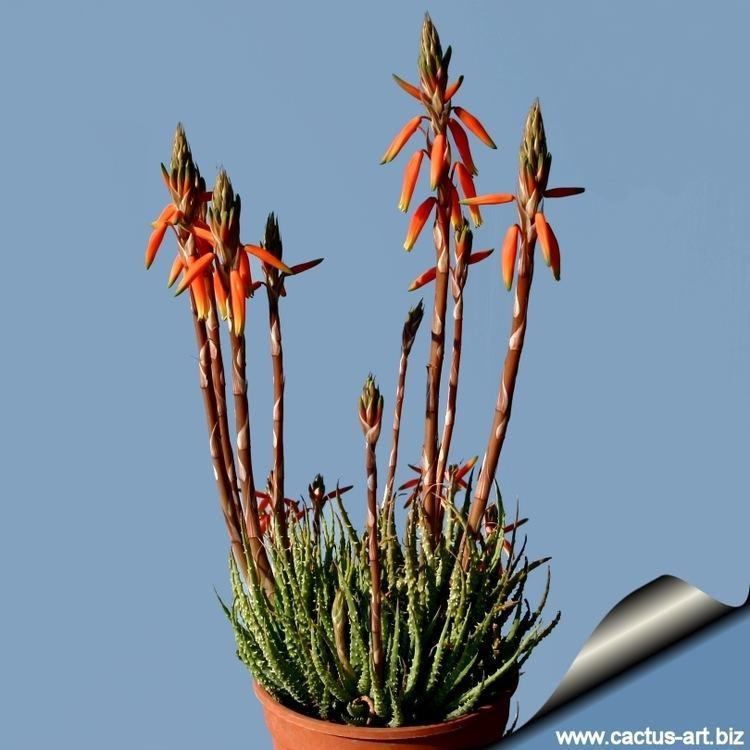 Aloe humilis wwwcactusartbizschedeALOEAloehumilisAloeh