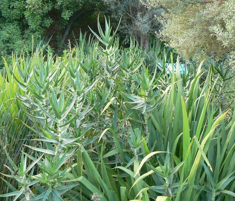 Aloe tenuior Aloe tenuior Wikiwand