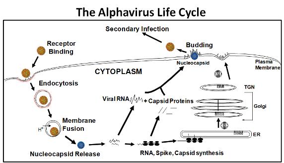 Alphavirus Research The Kielian Lab