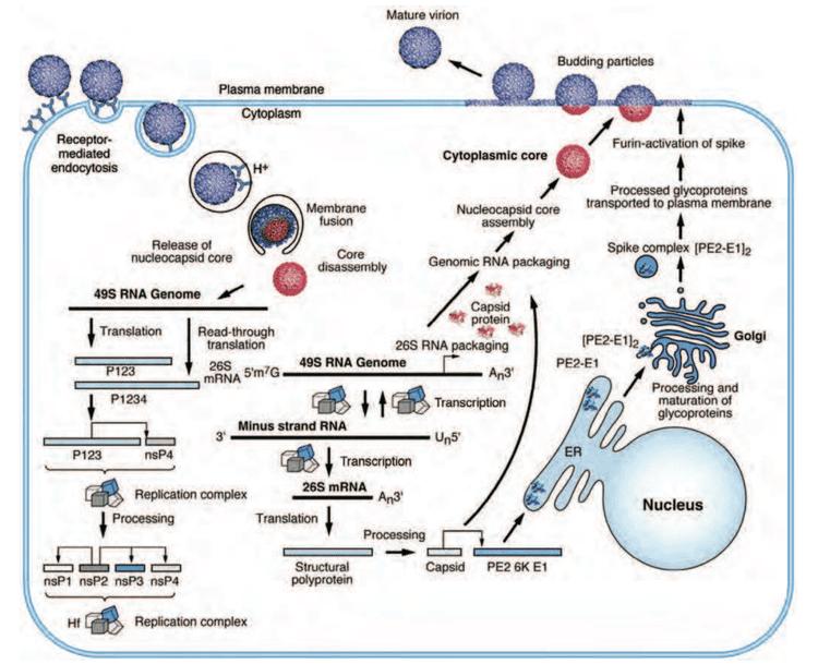 Alphavirus Togaviridae humansandviruses
