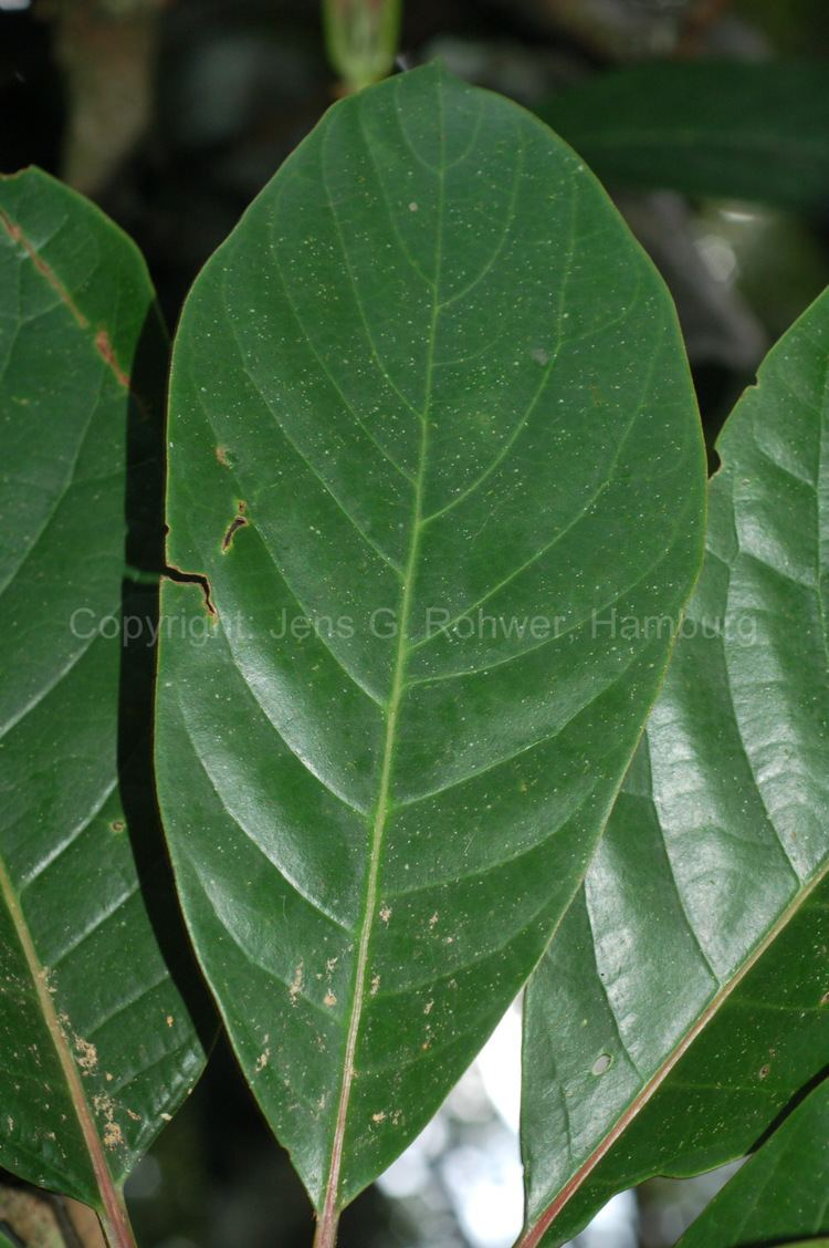 Alseodaphne Lauraceae taxonomy Lauraceae