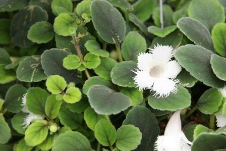 Alsobia Alsobia dianthiflora