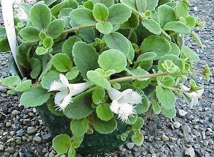 Alsobia Episcia alsobia dianthiflora Glasshouse Works