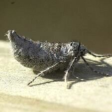 Alsophila pometaria mothphotographersgroupmsstateeduFiles1LiveCL