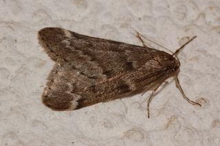 Alsophila pometaria Alsophila pometaria Fall Cankerworm Moth Discover Life