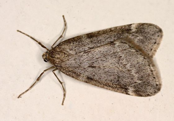 Alsophila pometaria Fall Cankerworm Moth Alsophila pometaria BugGuideNet