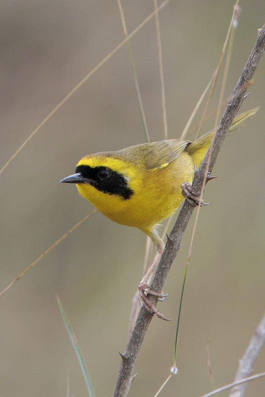 Altamira yellowthroat Altamira Yellowthroat BirdForum Opus