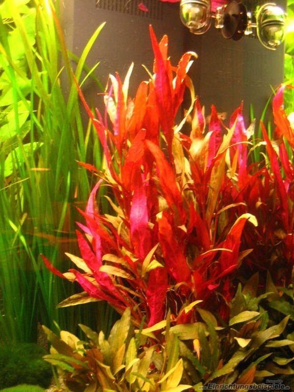 Alternanthera reineckii Alternanthera Reineckii Roseafolia Caresheet Aquatic Mag