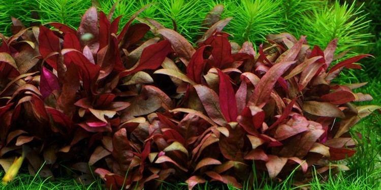 Alternanthera reineckii Alternanthera reineckii 39Mini39 Tropica Aquarium Plants