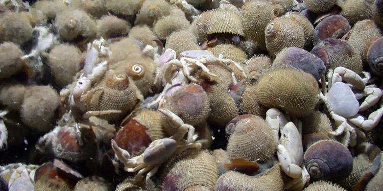 Alviniconcha Alviniconcha snails Girguis Lab