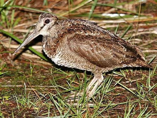 Amami woodcock orientalbirdimagesorgimagesdataamamiwoodcock