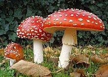 Amanita Amanita muscaria Wikipedia