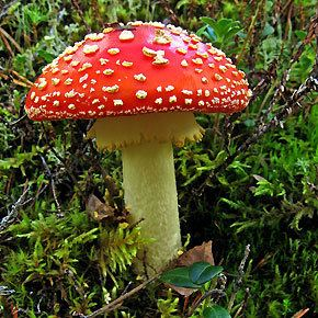 Amanita How does Amanita muscaria Compare with Alcohol