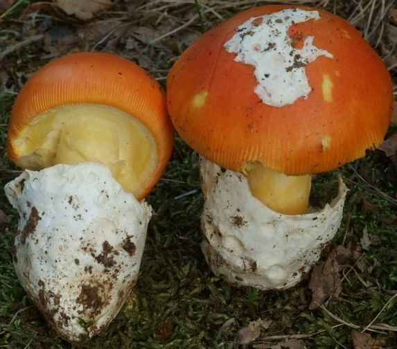 Amanita caesarea Amanita caesarea Amanitaceaeorg Taxonomy and Morphology of