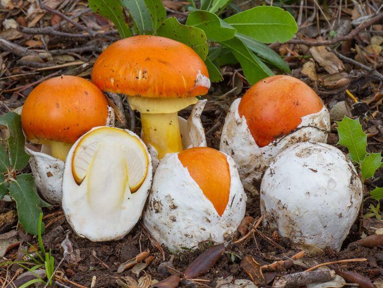 Amanita caesarea Mushrooms in Macedonia Macedonian Truth Forum