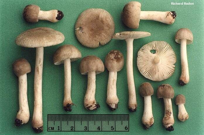 Amanita farinosa Amanita farinosa MushroomExpertCom
