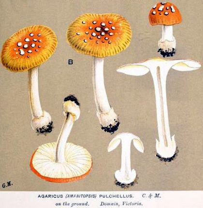 Amanita xanthocephala Amanita xanthocephala Amanitaceaeorg Taxonomy and Morphology of