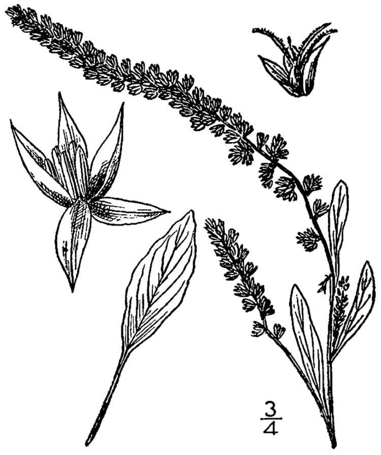 Amaranthus arenicola httpsuploadwikimediaorgwikipediacommons88