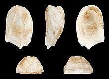 Amathina tricarinata httpsuploadwikimediaorgwikipediacommonsthu