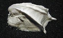 Amathinidae httpsuploadwikimediaorgwikipediacommonsthu