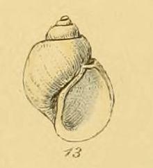 Amauropsis islandica httpsuploadwikimediaorgwikipediacommonsthu