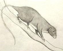 Amazon bamboo rat httpsuploadwikimediaorgwikipediacommonsthu