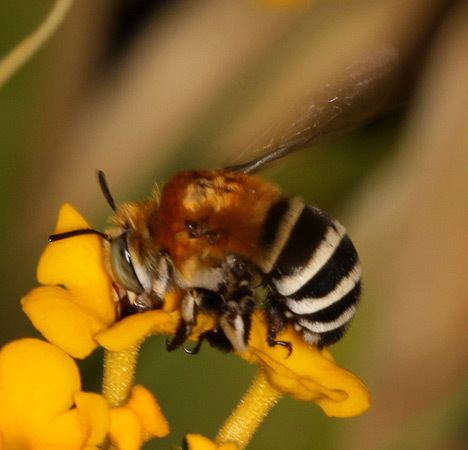 Amegilla quadrifasciata Whitebanded Digger Bee Amegilla quadrifasciata