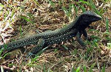 Ameiva atrigularis httpsuploadwikimediaorgwikipediacommonsthu