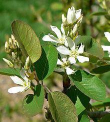 Amelanchier australis httpsuploadwikimediaorgwikipediacommonsthu