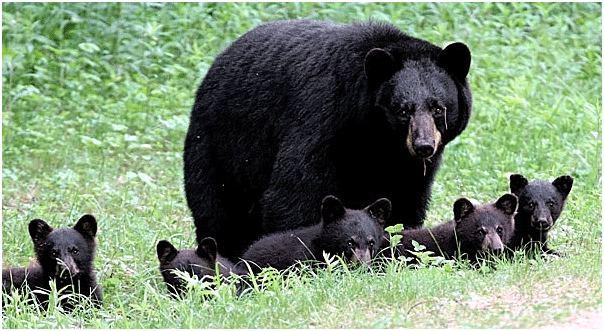 American black bear North American Bear Center Reproduction