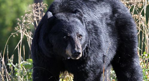 American black bear Black Bear Basic Facts About Black Bears Defenders of Wildlife