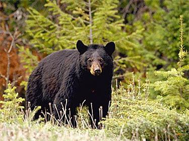 American black bear American Black Bears Bears Of The World