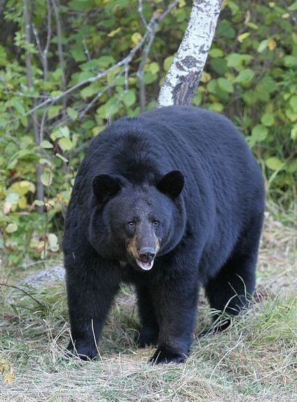 American black bear American black bear Wikipedia