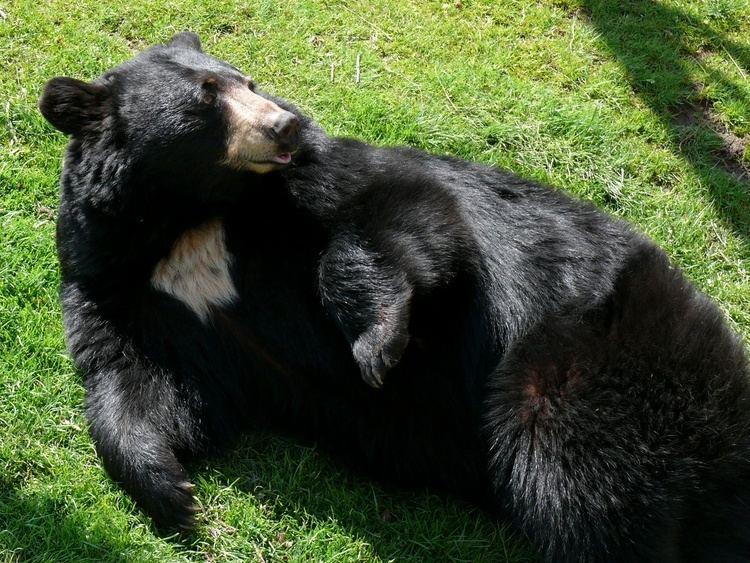 American black bear httpsuploadwikimediaorgwikipediacommons77